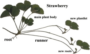 Diagram of a strawberry runner. Source: http://click4biology.info/c4b/9/plant9.1.htm