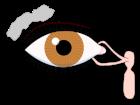 800px-Tear_system.svg