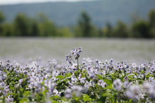 Potato flowers.png