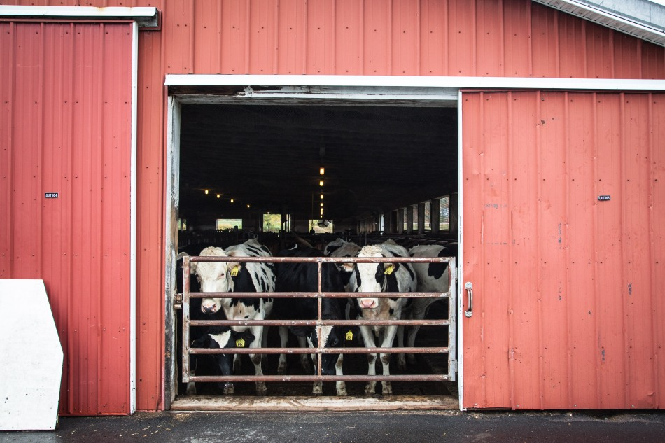 Holsteins watch as we peel off our protective boots and get ready to head to UNH's organic farm. Photo: Kathleen Nay