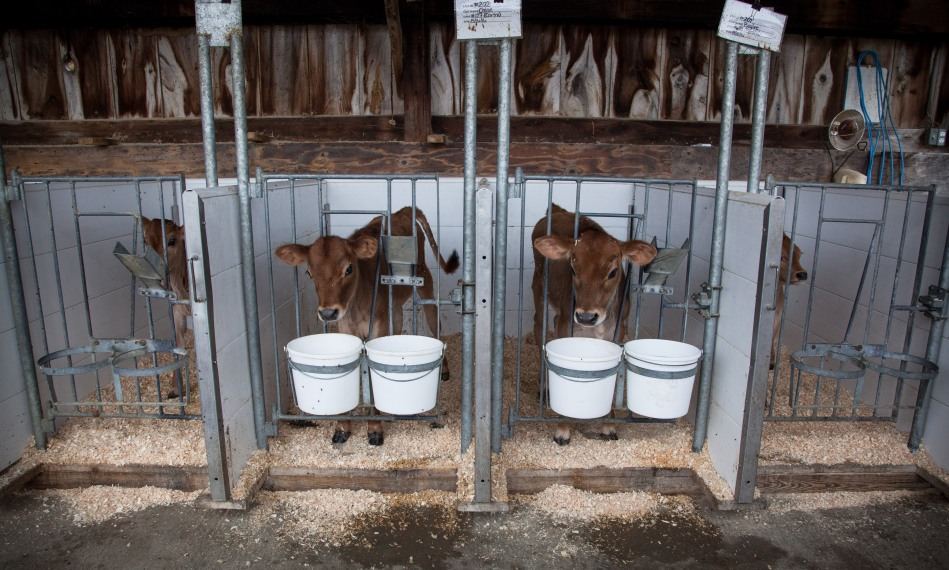 Brand-new calves greet us upon arrival at the Organic Dairy Research Farm. Photo: Kathleen Nay