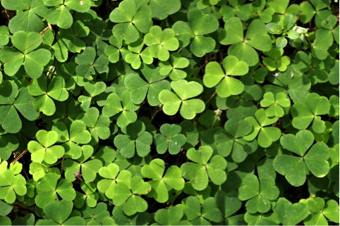 Shamrocks (Photo: Pixabay)
