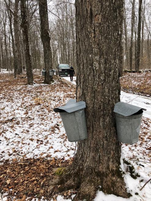 Maple tree vermont