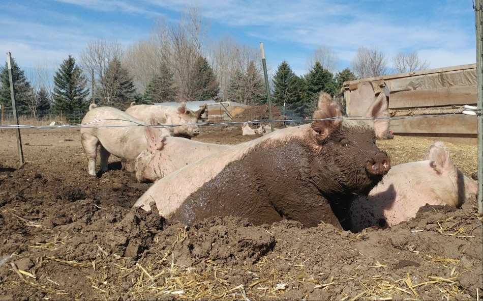 Hogs at Jodar Farms in Fort Collins, CO